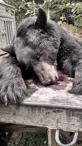 Maine Trophy Black Bear Hunts